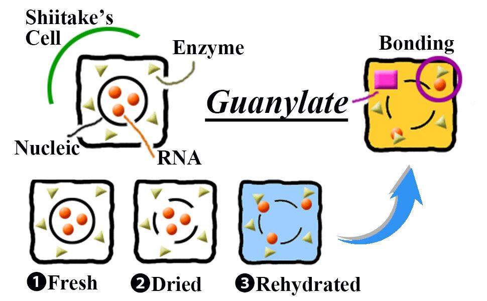 Drying & Rehydrating Shiitake creates the Guanylate Umami