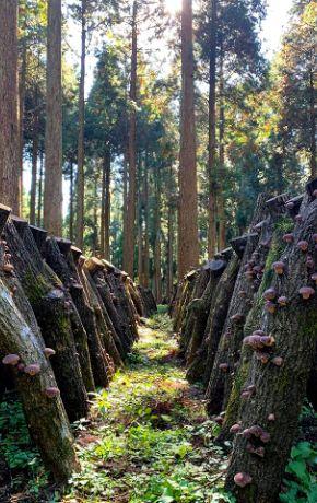 無農薬原木露地栽培